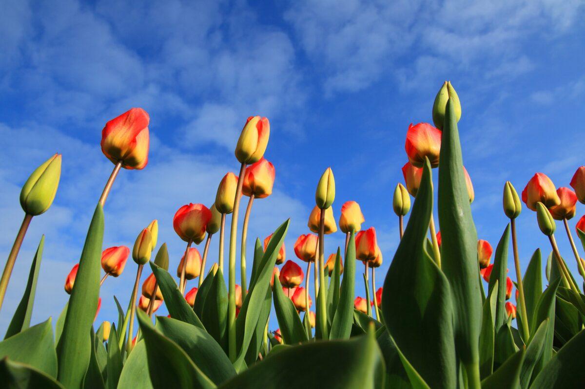 Tulpenbollen weer terug op de menukaart